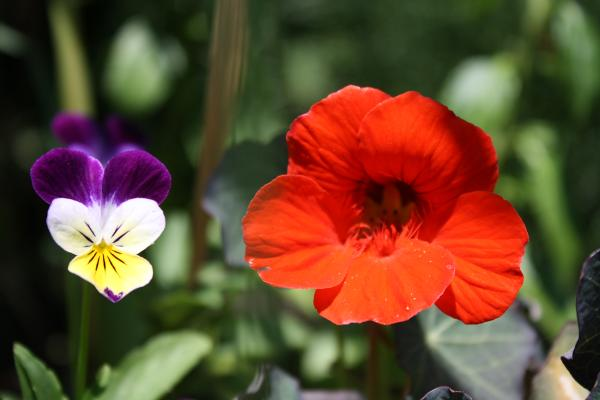 Jumping Jack and Nasturtium